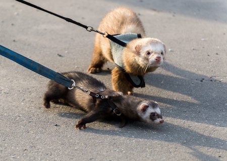 Two ferret for a walk with a collar and leash 写真素材