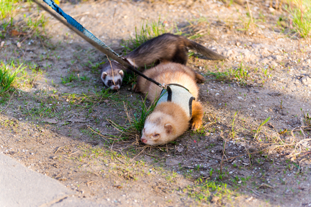 ferret: Two ferret for a walk with a collar and leash Stock Photo