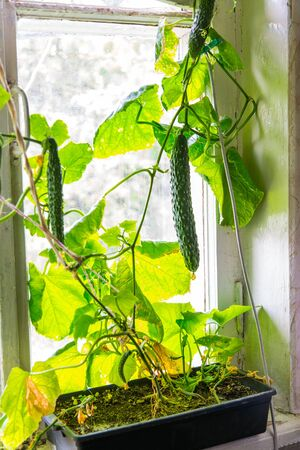 sill: Growing cucumbers at home on a window sill