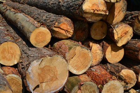 Sawlogs to produce a general purpose lumber Stock Photo