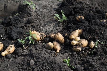 dug: Freshly dug potatoes lying on the ground