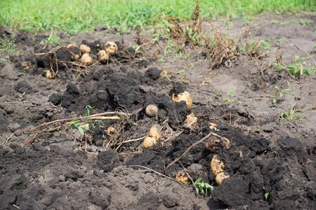dug: Freshly dug potatoes lies on a bed