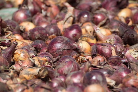 dug: Freshly dug out onions drying in the sun Stock Photo