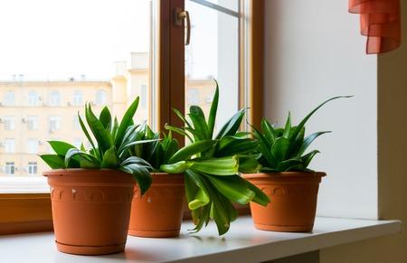unpretentious: Three sansevieriya stand on the windowsill in room