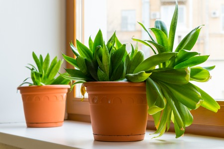 unpretentious: two sansevieriya stand on the windowsill in room Stock Photo