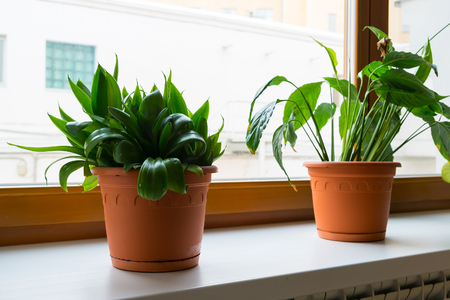 unpretentious: sansevieriya and spathiphyllum stand on the windowsill in room