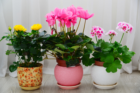 cyclamen, rose and geranium on a background of white curtains