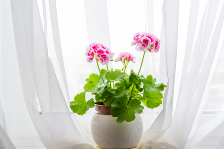 Pink geranium stand on windowsill in a curtains background