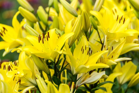 lots of: Lots of yellow lilies in the flowerbed