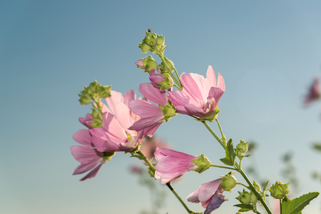 A Meadow pink Mallow against a blue sky