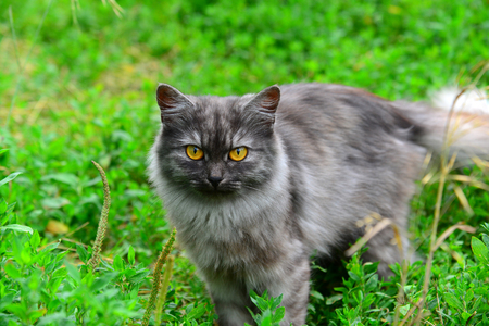 Gray long-haired cat standing in grass in summer