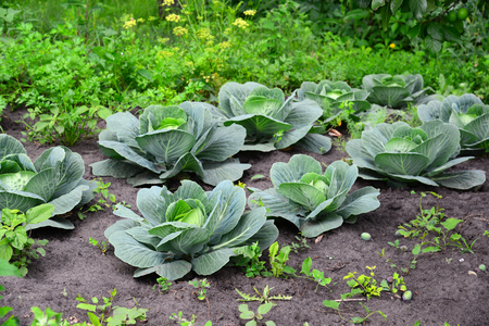 accosting: Young cabbage grows in a private garden