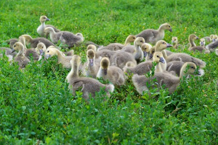 A Young geese stand in green grass