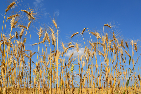 Spikelets of cereals against the backdrop of a field