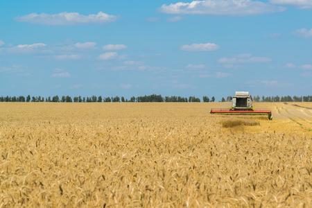 cosechadora: Combine harvester threshes wheat on the field, Russia