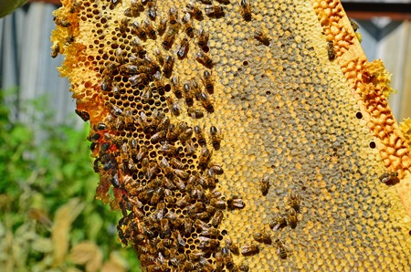 Honey bees on a wax combs, outdoors Stock Photo