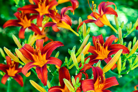 A Beautiful bright daylilies on the flowerbed
