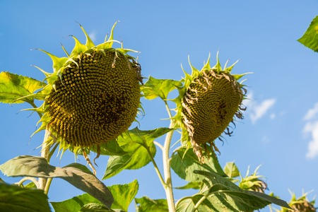 A Ripe sunflower against the sky. Bottom view