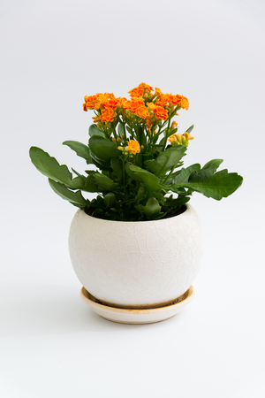 orange calanchoe in a white pot on a light background Stock Photo