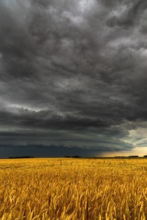 Black thunderstorm cloud above a wheat field Фото со стока