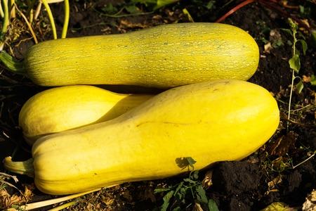 Ripe yellow zucchini lying on the black earth.