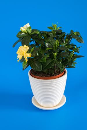 Gardenia jasmine on a blue background.