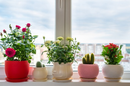 roses, cacti and calanchoe stand on the windowsill