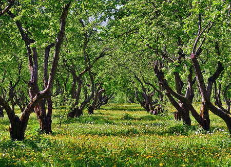 beautiful old apple orchard with a blooming dandelions Banco de Imagens