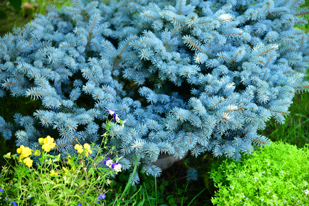 Dwarf spruce in a landscape design in the garden