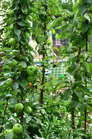 The columnar apple is a natural clone of an apple tree that has no side branches. Stock Photo