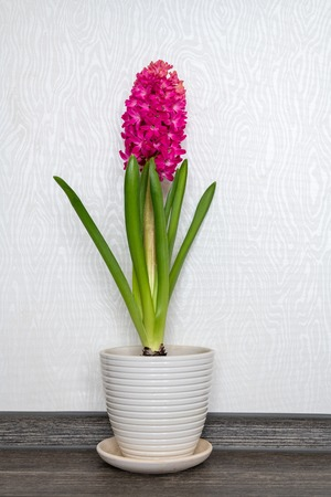 Pink blooming hyacinth stands in the room against the wall