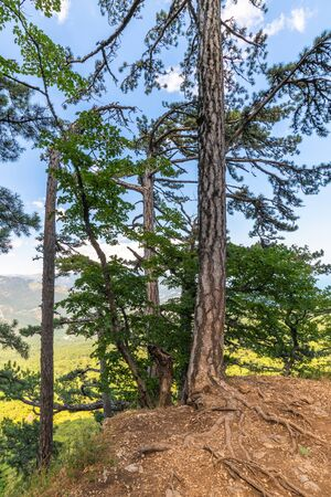 Beautiful pine tree on a mountain in Crimea