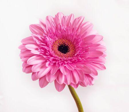 beautiful pink gerbera on a white background