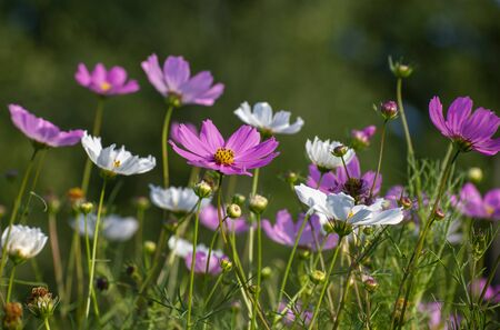 A Many beautiful pink and a white daisies