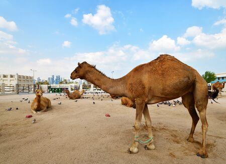 Chameaux dans le souk aux chameaux, souk Waqif à Doha, Qatar,