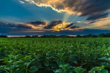 Beau coucher de soleil sur le champ de jeunes tournesols