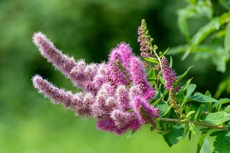 The Beautiful Pink Buddley ornamental shrub