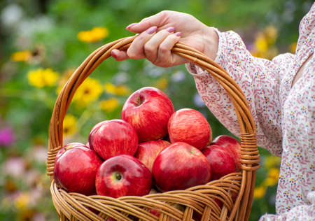 Woman holding a wicker basket with red apples