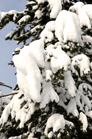after strong snowfall in sunny day of a paw of fir-trees under snow