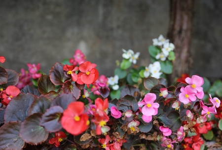 flower a begonia on the street in the park of brightly red and pink color in bloom Stock fotó