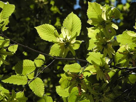 Sunny wild Hazel with leaf, branches and catkins. Summer blossom tree. Triangle shape of leave.Photo backlit. Green bright vivid leaves playful on the sun. Light colorful contrast nature background.