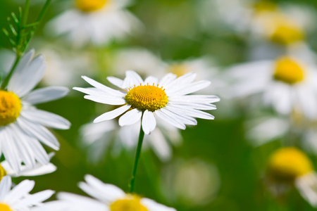 ox eye: many camomile flowers with one close up in focus Stock Photo