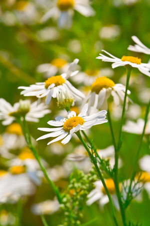 ox eye: lots of camomile flowers