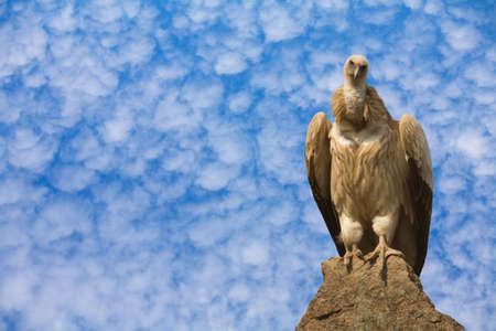 Detailed photo of vulture sitting on a rock Stock Photo - 4862100