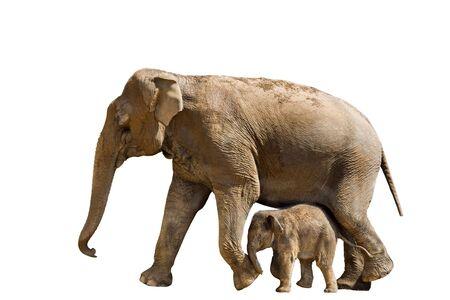 and mother elephant, isolated white Stock Photo