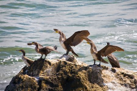 cormorants: cormorants dry wings Stock Photo