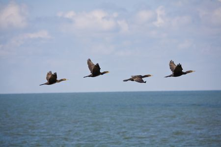 cormorants: cormorants flying after each other