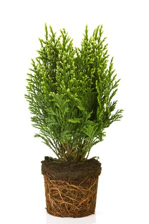 thuja: Small thuja in a pot on white background Stock Photo