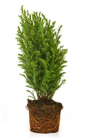 thuja: Thuja in a pot on a white background