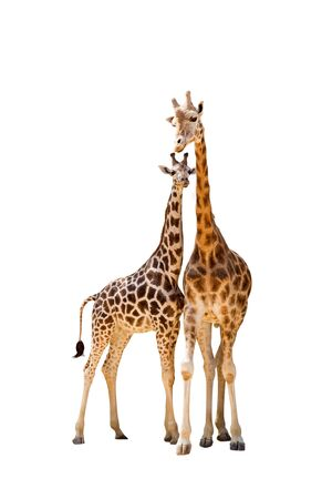 two giraffe on isolated white background